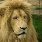 Fenómeno LION, vamos a conseguir contactos en LinkedIn